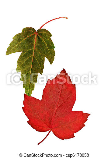 Two maple leaves - csp6178058