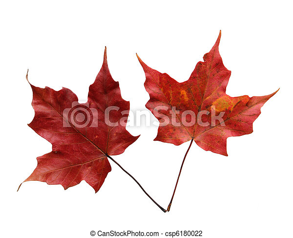 Two Maple Leaves - csp6180022