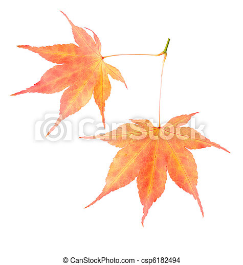 Two maple leaves - csp6182494