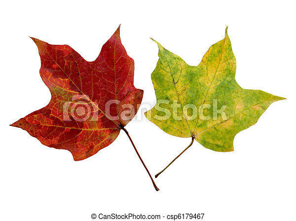 Two Maples Leaves - csp6179467