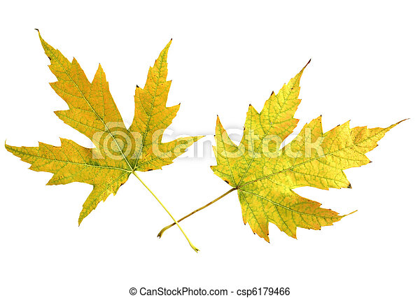 Two Mapple Leaves - csp6179466