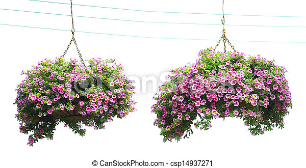 Two morning glory flower baskets in the hanging, - csp14937271