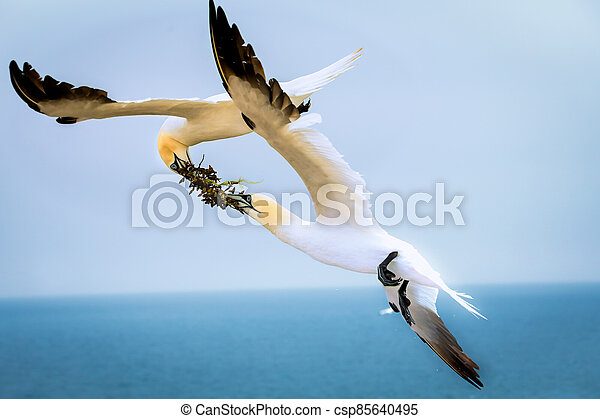 Two northern terns in flight in the wild - csp85640495