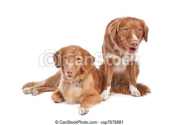 two Nova Scotia Duck Tolling Retriever dogs - csp7676881