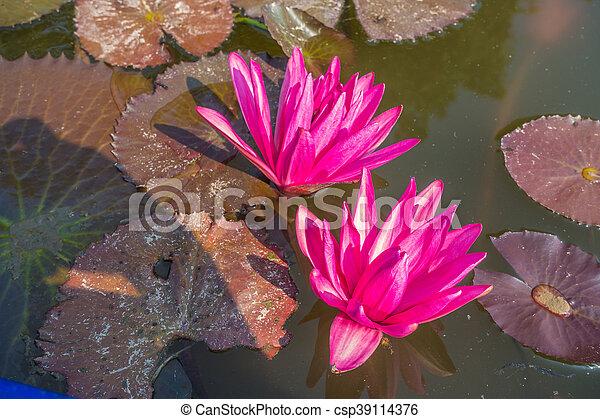 Two Nymphaea pink lotus - csp39114376