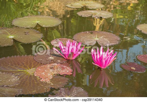 Two Nymphaea pink lotus - csp39114340