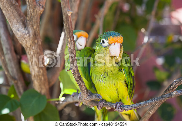 Two Parakeets in a Tree - csp48134534