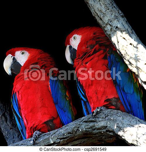 Two parrots closeup - csp2691549