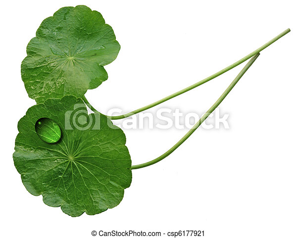 Two Pennywort Leaves - csp6177921