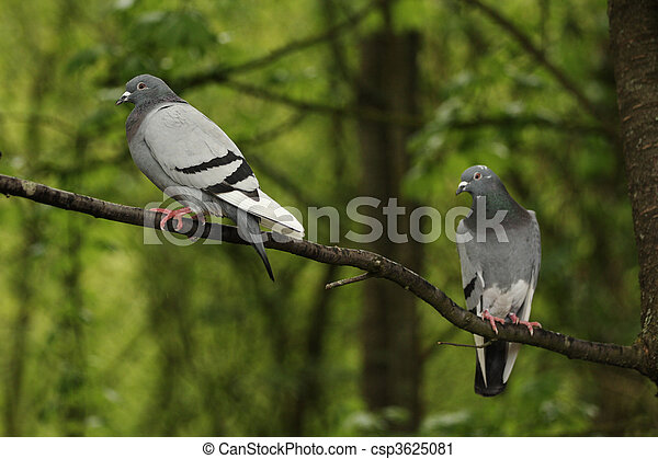 Two pigeons in a tree - csp3625081