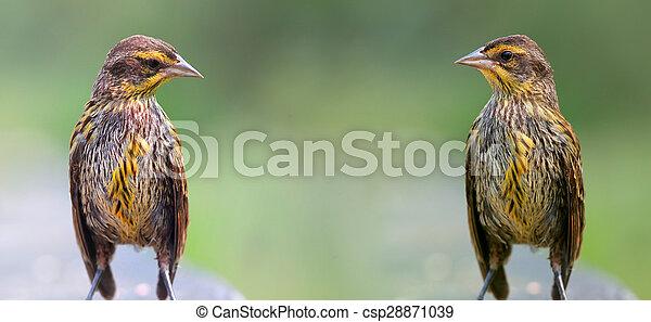 Two Pine Siskins - csp28871039