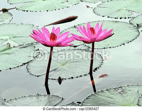 two pInk lotus - csp12365427