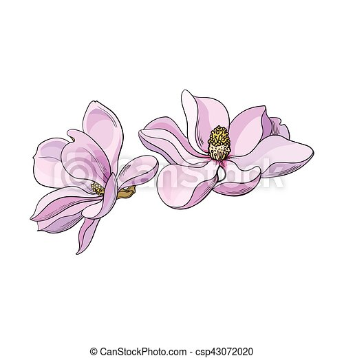 Two Pink Magnolia Flowers Sketch Vector Illustration