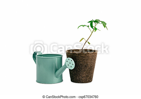 two plant of tomato and watering can isolated on white - csp67034760