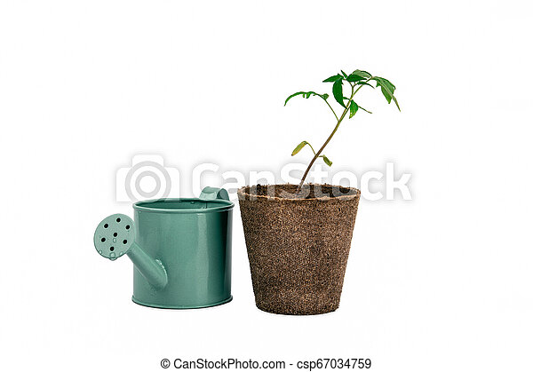 two plant of tomato and watering can isolated on white - csp67034759