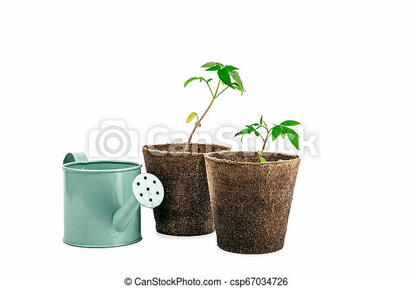 two plant of tomato and watering can isolated on white - csp67034726