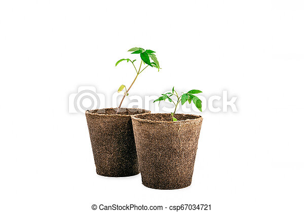 two plant of tomato isolated on white - csp67034721