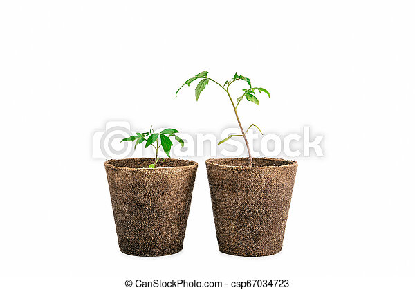 two plant of tomato isolated on white - csp67034723