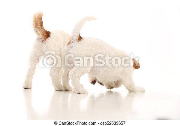 Two Playing Jack Russell White Background