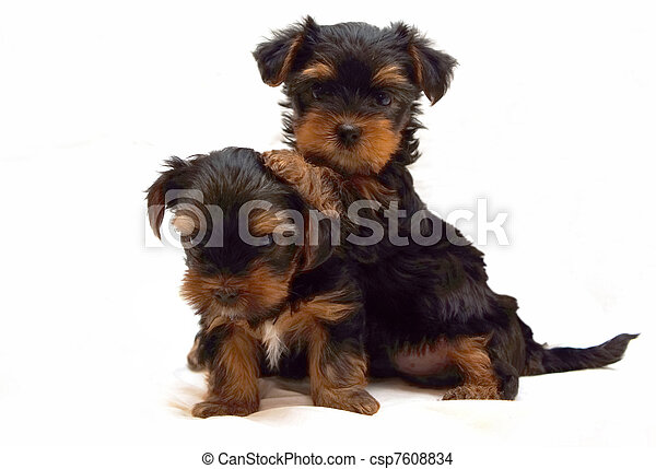 Two Playing Puppies Of The Yorkshire Terrier On White Background