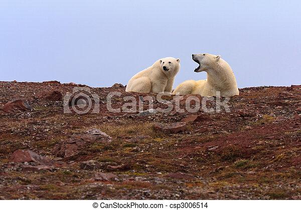 Two Polar Bears on Rocky Hill - csp3006514