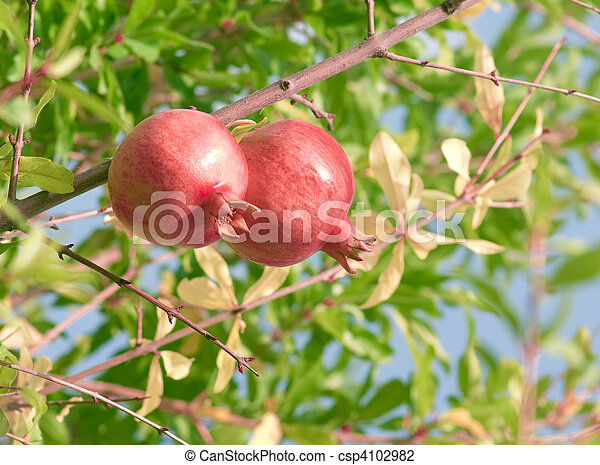 Two pomegranates on a branch - csp4102982
