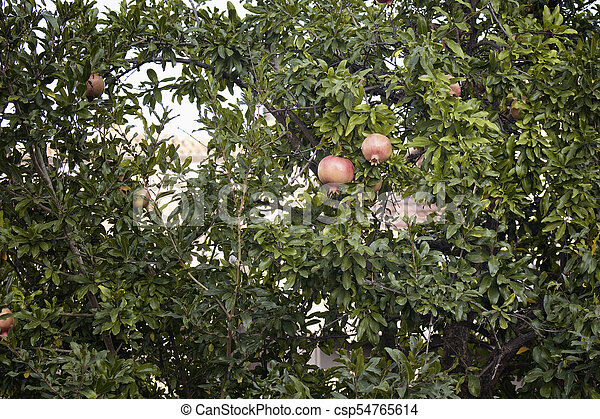 Two pomegranates on a tree in summer. - csp54765614