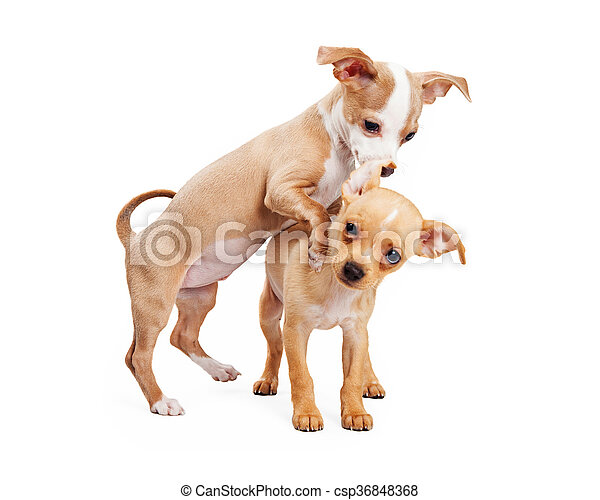 Two Puppies Playing On White Background
