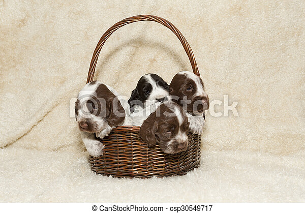 two puppy of brown English Cocker Spaniel - csp30549717