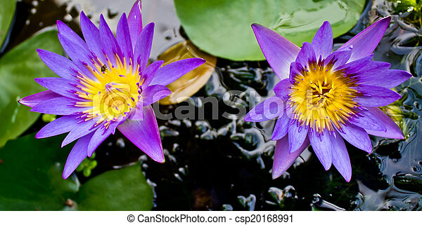 Two purple lotus flowers - csp20168991