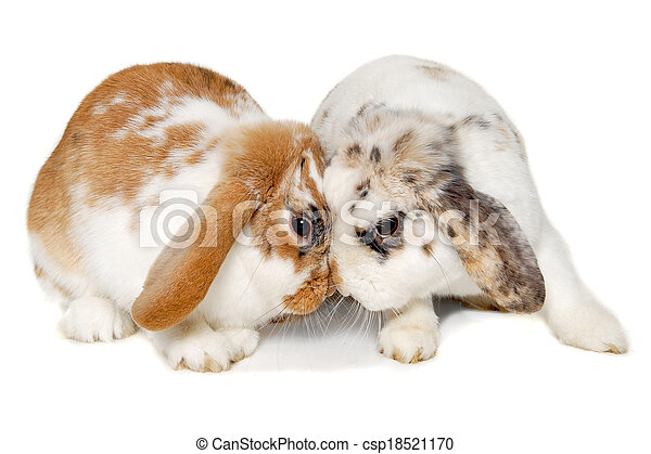 Two rabbits isolated on a white background - csp18521170