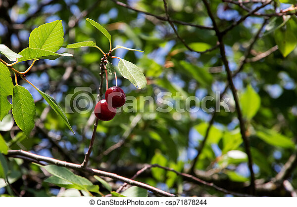 Two red cherries on a tree branch with green leaves - csp71878244