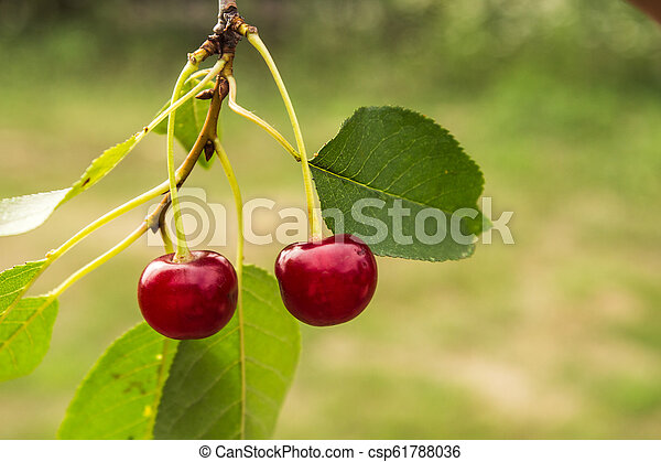 two red cherry on a tree in the garden - csp61788036