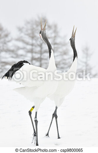 Two Red-crowned Cranes display courtship. - csp9800065
