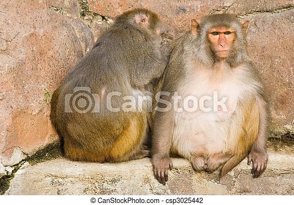 Two rhesus monkeys - csp3025442