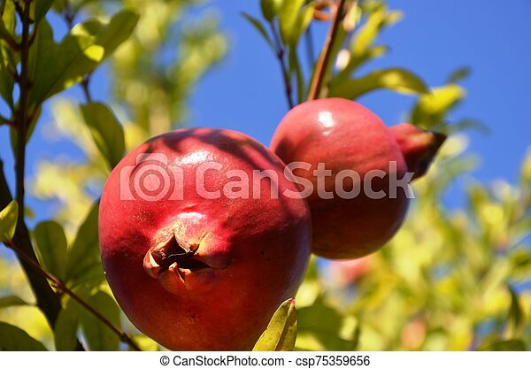Two Ripe pomegranates growing on a tree in a garden in Greece. organic farm products, healthy food, vegetarian food. Red pomegranate, green and greenish leaves, blue sky. - csp75359656