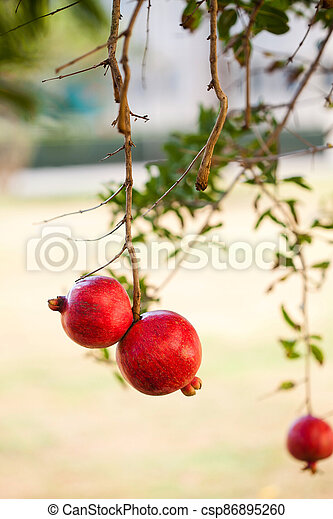 two ripe red pomegranates hang on a pomegranate tree branch in the garden - csp86895260