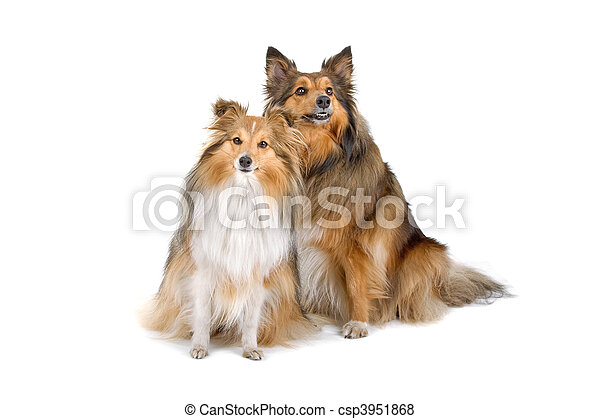 two shetland sheepdogs (sheltie) - csp3951868