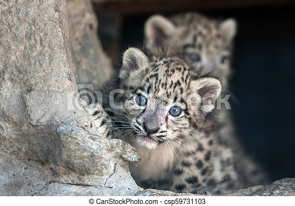 Two Snow leopard baby - csp59731103