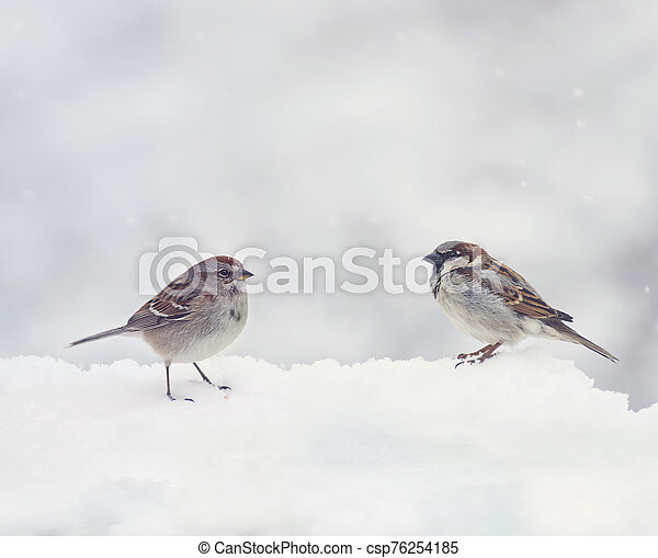 Two Sparrows on snow in the winter - csp76254185