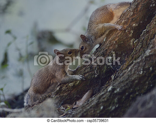 Two Squirrels on the Tree - csp35739631