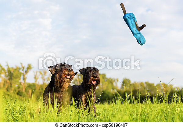 two standard schnauzer looking for a thrown treat bag - csp50190407