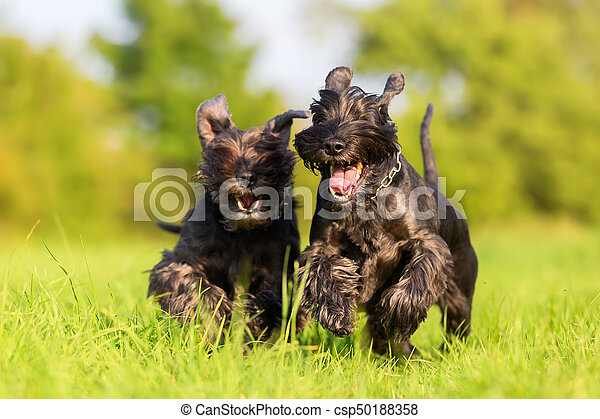 two standard schnauzer running on the meadow - csp50188358