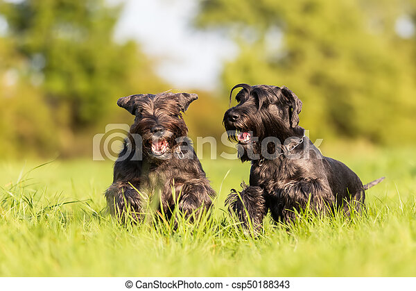 two standard schnauzer running on the meadow - csp50188343