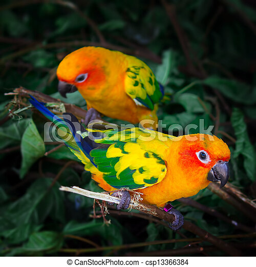 Two sun conures parrots are sitting on a tree branch - csp13366384