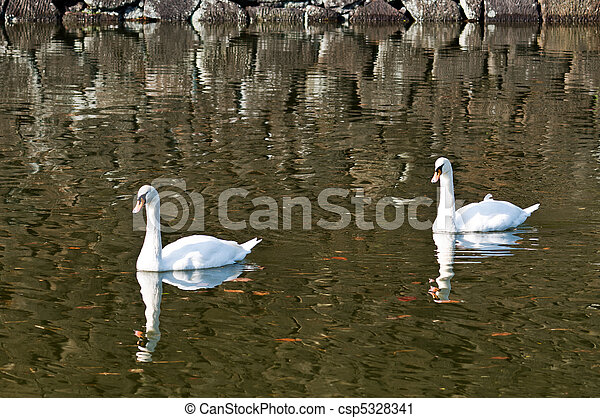 Two swan floating on a pond - csp5328341