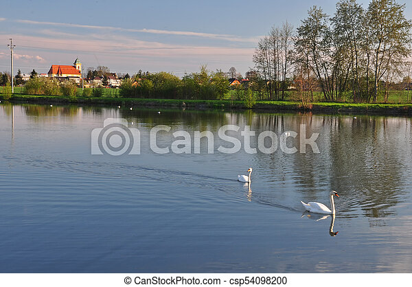 Two swans on a pond before sunset. - csp54098200
