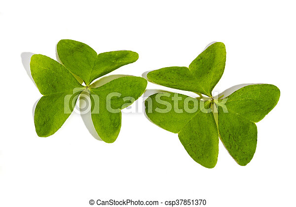 Two Three Leaf Clovers on White Background - csp37851370