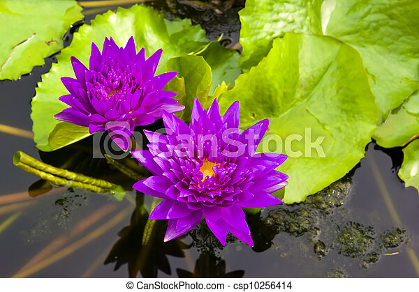 Two violet water lily in the pond - csp10256414