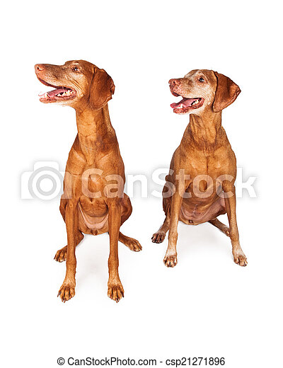 Two Vizsla Dogs Looking to Side - csp21271896